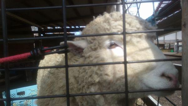 富士ミルクランド羊