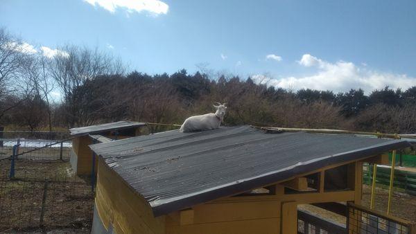 富士ミルクランド屋根の上のヤギ