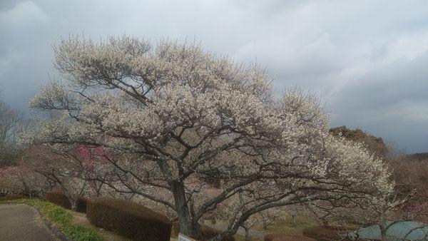岩本山公園の梅満開