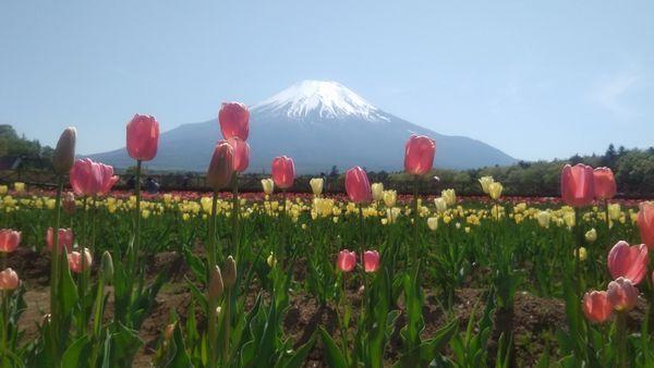 山中湖花の都公園無料エリア富士山とチューリップ