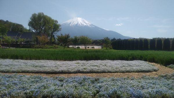 山中湖花の都公園ネモフィラと富士山