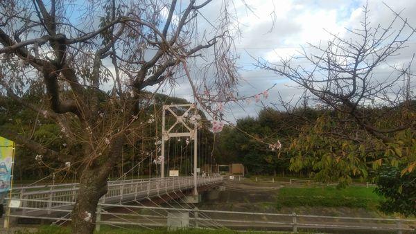 富士中央公園十月桜