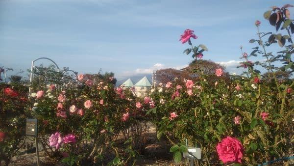 富士中央公園バラと富士山