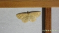 [蛾][シャクガ科][エダシャク亜科]ハグルマエダシャク