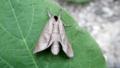 [蛾][シャチホコガ科]セグロシャチホコ