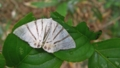 [蛾][シャクガ科][ エダシャク亜科]クロミスジシロエダシャク