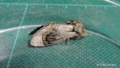 [蛾][シャチホコガ科]ホソバシャチホコ