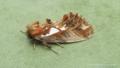[蛾][シャチホコガ科]ウスイロギンモンシャチホコ