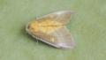 [蛾][シャチホコガ科]アオセダカシャチホコ
