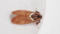 [蛾][シャチホコガ科]ギンモンシャチホコ