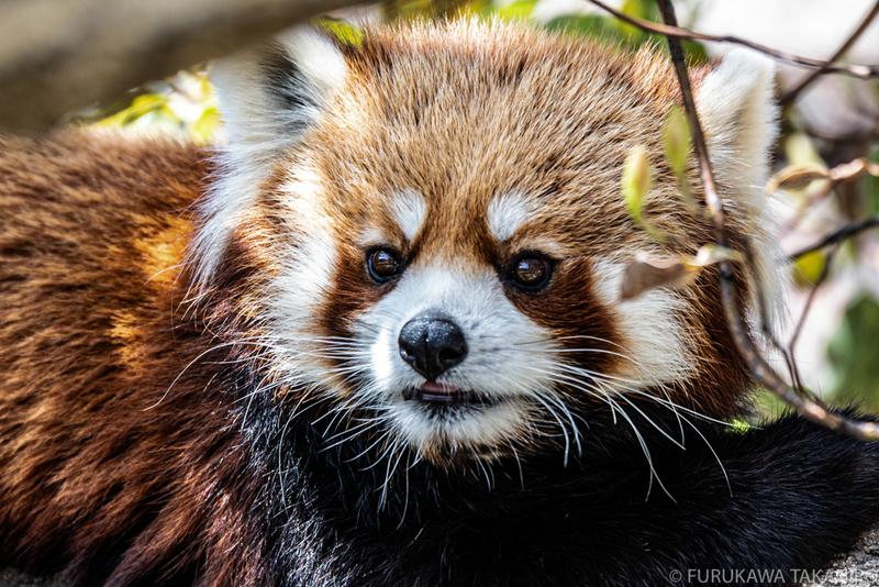 王子動物園 レッサーパンダ
