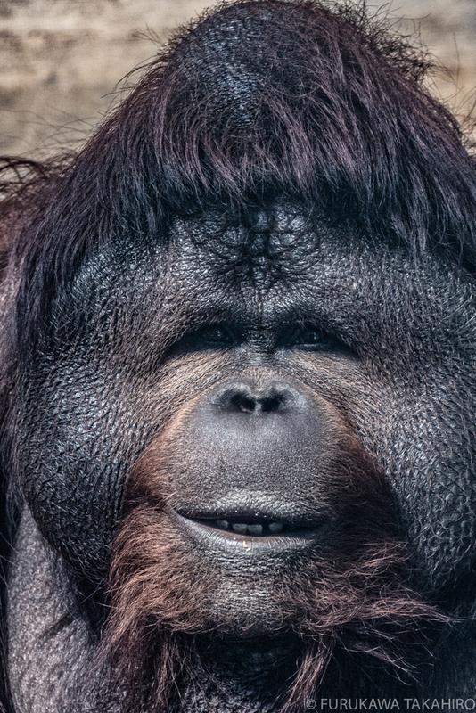 王子動物園 オランウータン