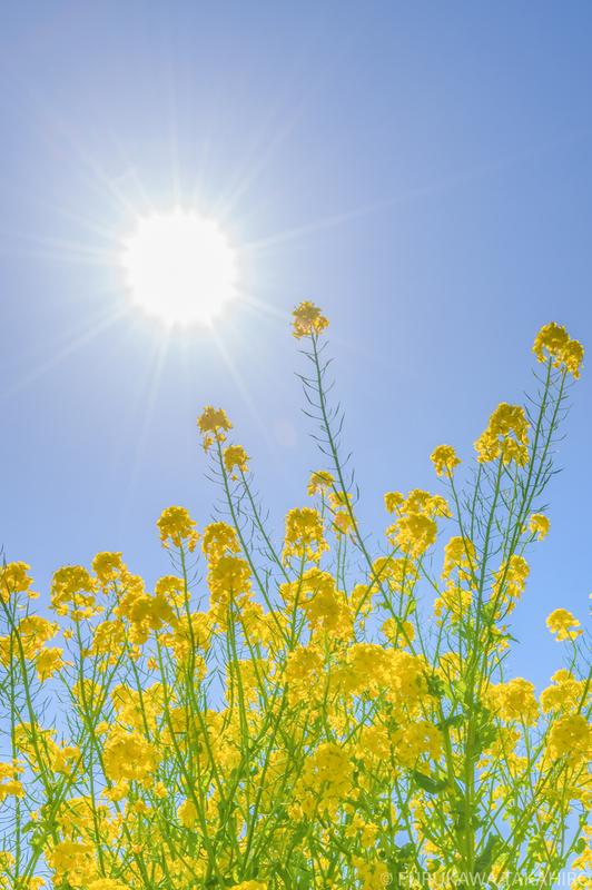 総合運動公園菜の花
