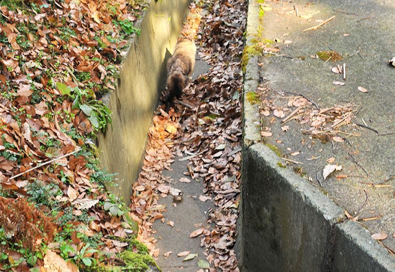 散歩の途中。林の小道を走り去るたぬき