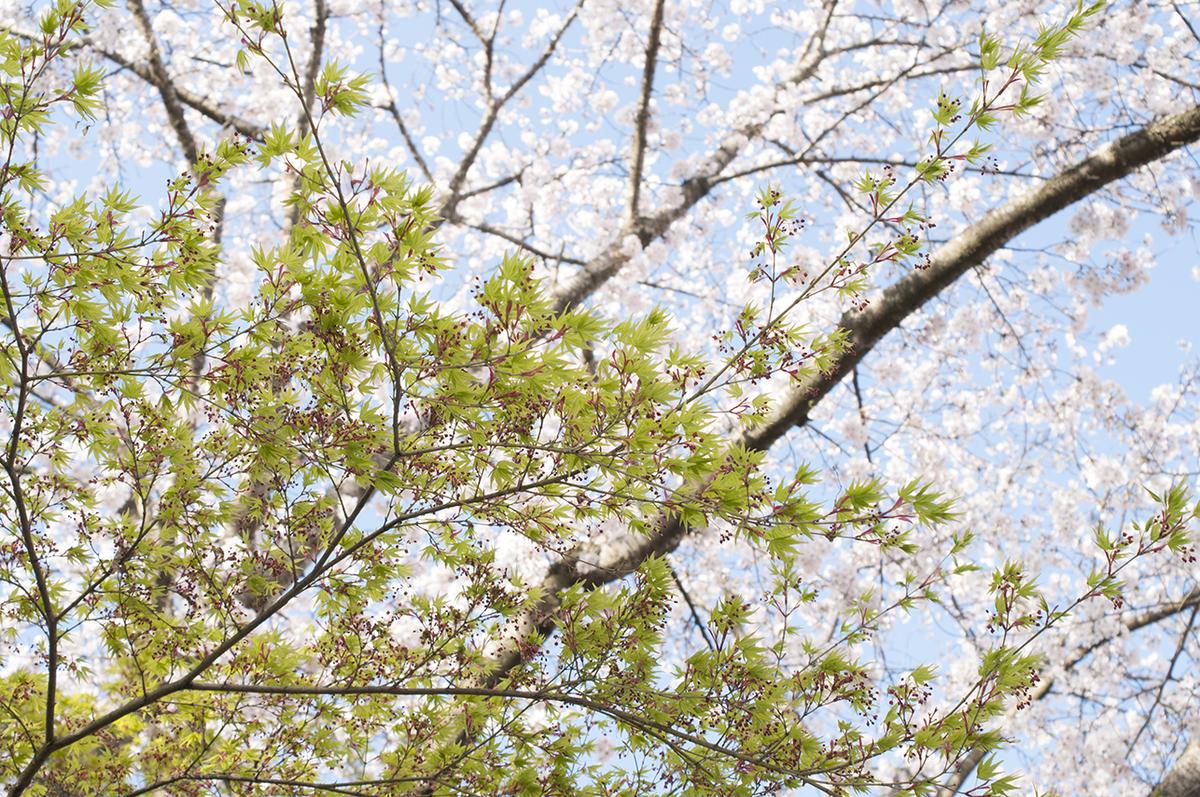 春の桜と緑。ピクニックに出かけたくなるカラー