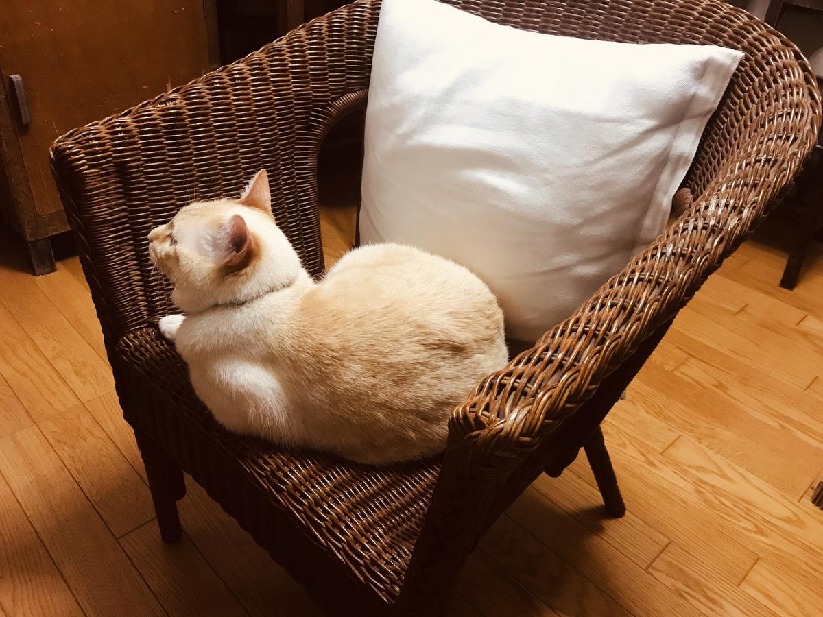 もらいものの藤のイスに鎮座してる飼い猫-ふるものせいかつ図鑑