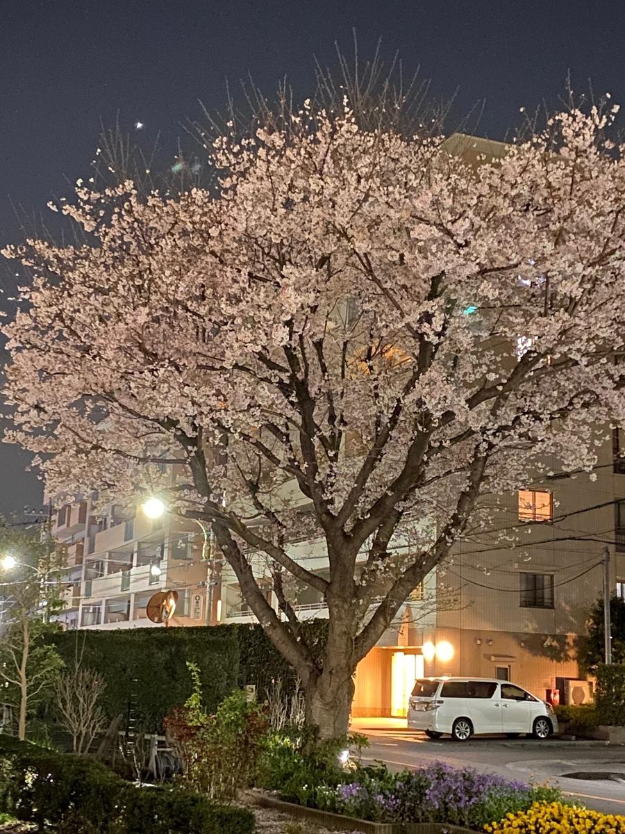 芙蓉園の桜