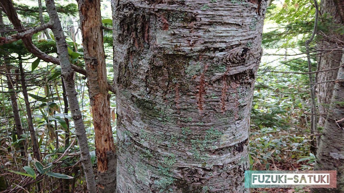 白樺の木の幹に残した、熊の爪痕