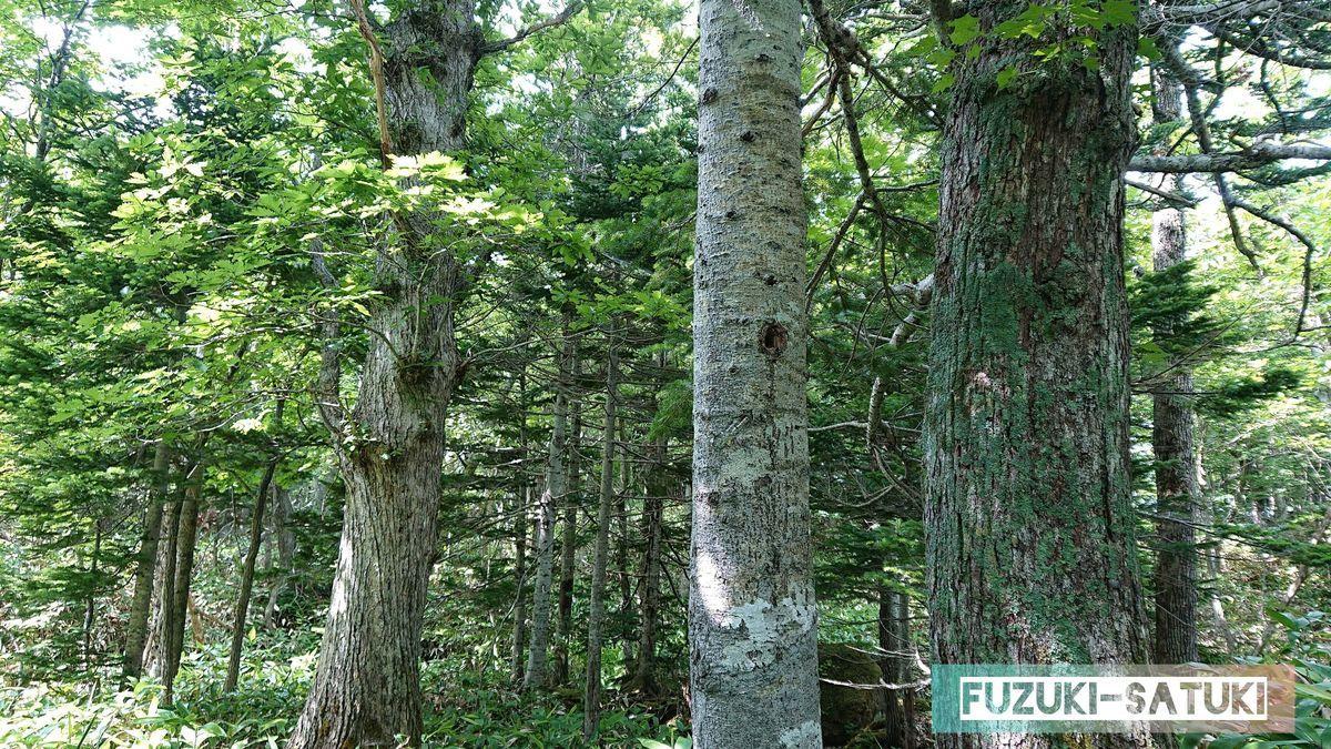 トドマツの木と樹液