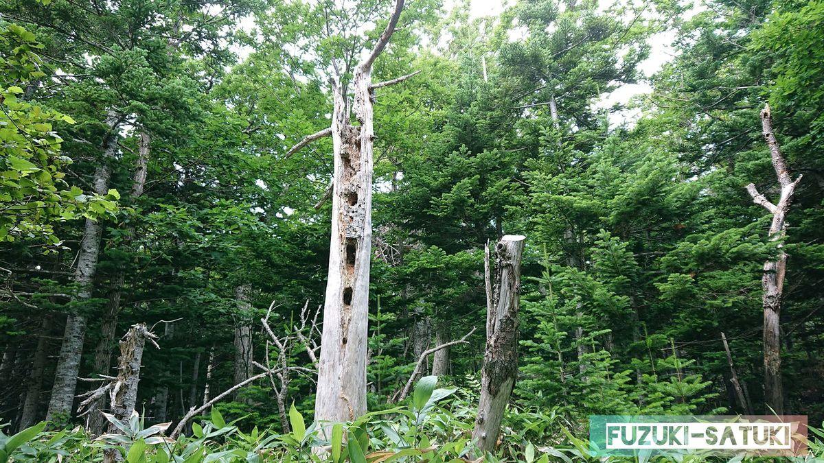 アカゲラに突かれ過ぎて枯れた木