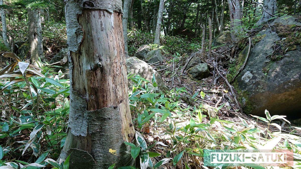 食害(鹿に皮を食べられた木)