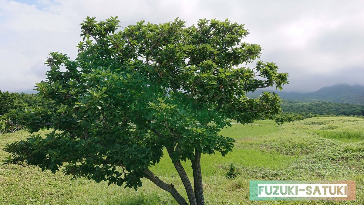 柏餅の葉っぱの木
