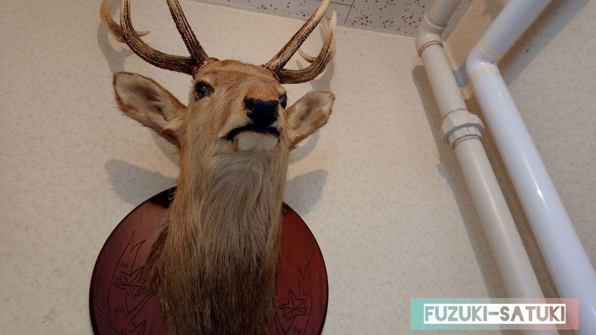 廊下に飾られているエゾシカの頭だけのはく製
