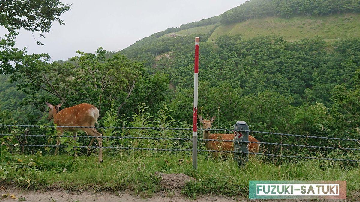 カムイワッカ途中で出逢った鹿さん