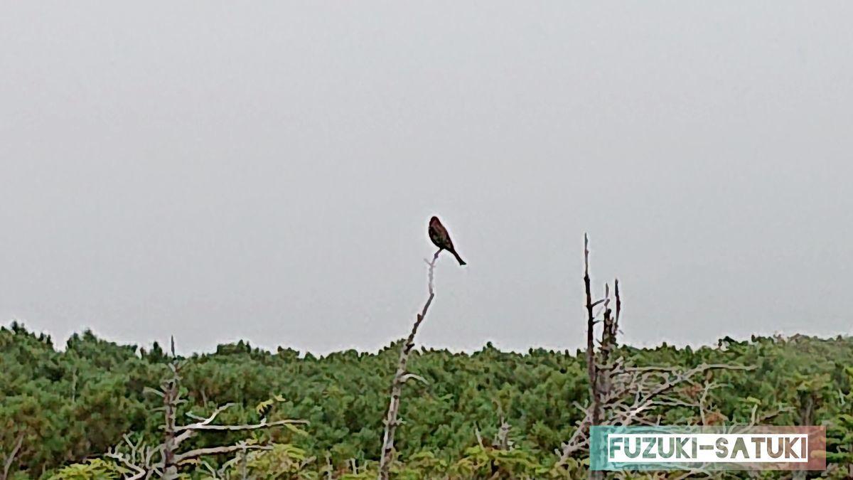 ギンザンマシコが一羽、枝に留まっている