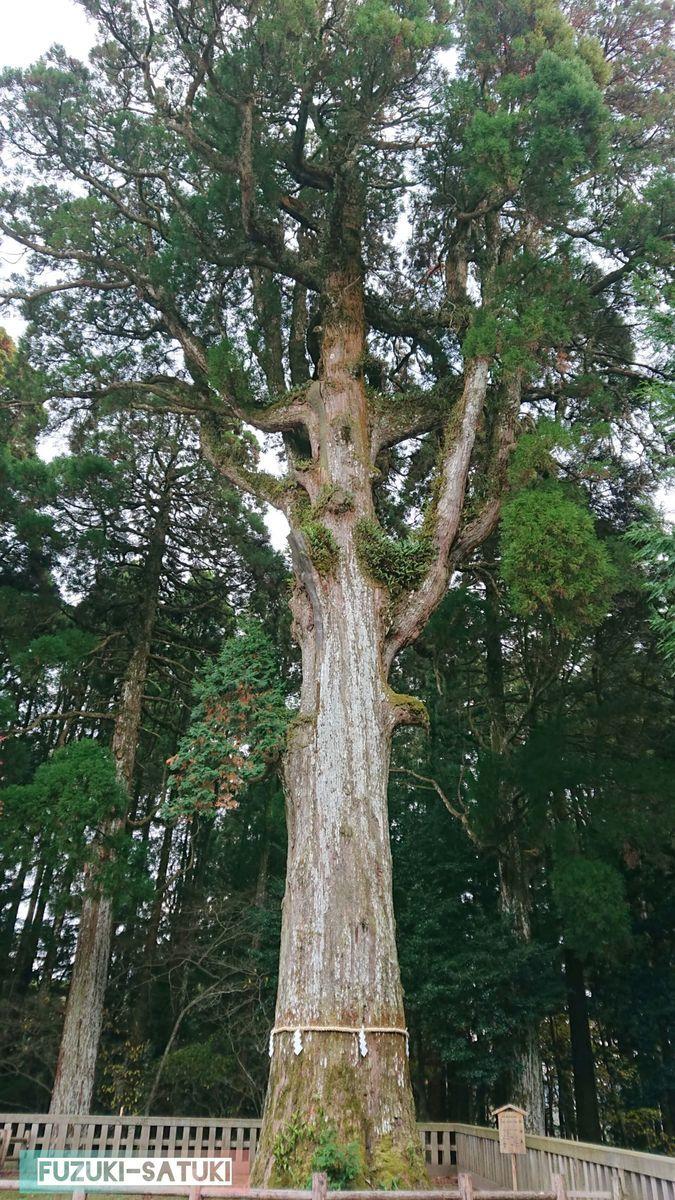 霧島神宮の御神木 樹齢は800年とも