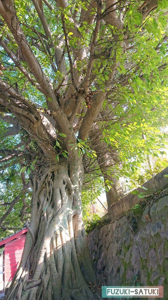 鹿児島県桜島の黒神埋没鳥居の横に自生しているアコウの木。クワ植物の一種でイチジクと同じ種類。他の植物や岩などに巻き付いて成長するために「絞め殺しの木」とも呼ばれている。