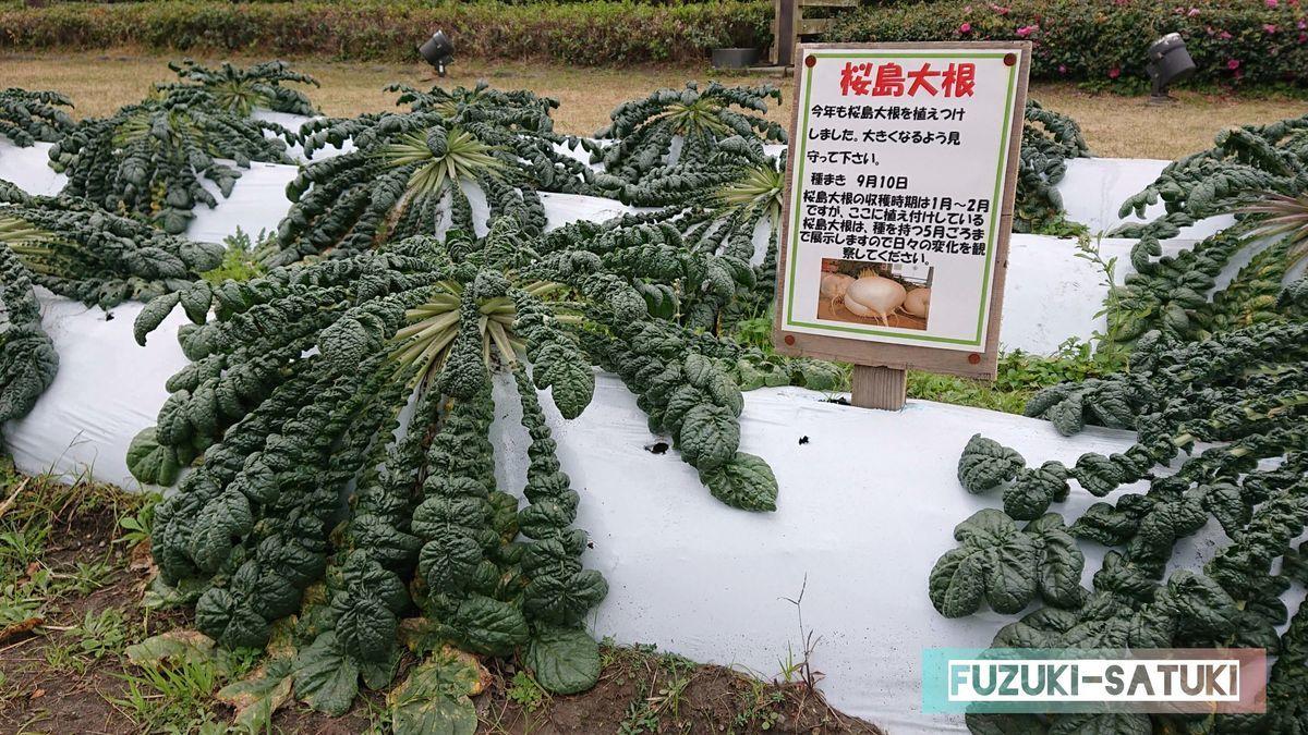 鹿児島県の桜島にある「火の島めぐみ館」の敷地内に植えられてある「桜島大根」。12月の当時、葉の広がった大きさは直径60㎝程で、収穫は1~2月とのこと。すでに地中には丸々とした大根が育っているように思える。鹿児島の名産品のひとつ。