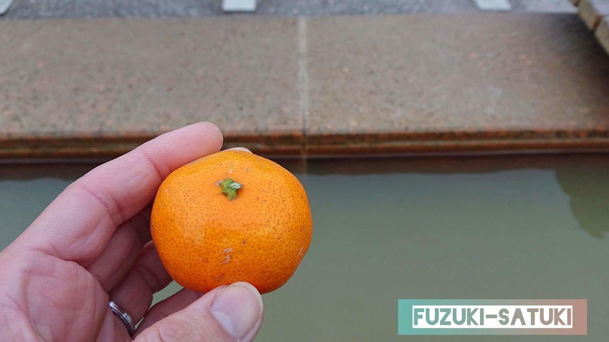 「桜島」溶岩なぎさ公園足湯にて、白浜温泉センターで購入したみかんを頂く。桜島は桜島小みかんが名産品で、足湯の敷地内でも一袋100円で無人販売されている。小ぶりながらとても甘く美味しい。