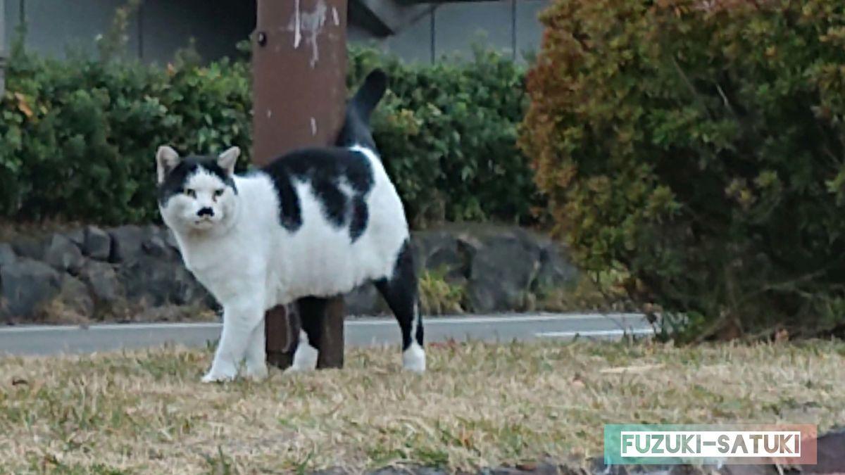 桜島溶岩なぎさ公園で見かけた、白と黒の猫。センター分けの髪型(模様)で、ちょび髭のような模様があり、表情がキリっとして凛々しい猫。