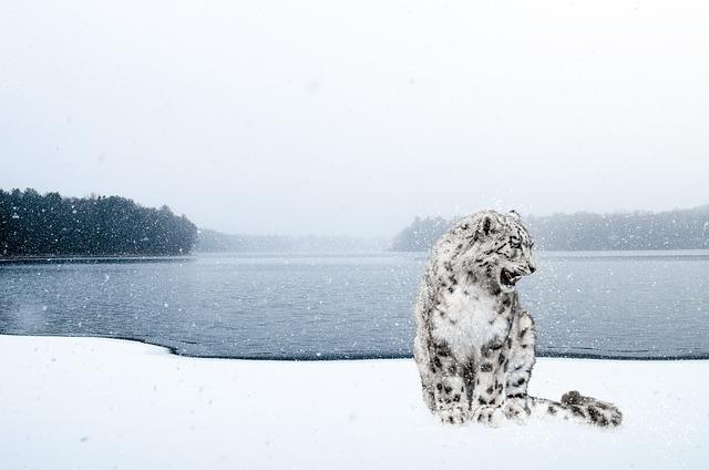 snowleopard 雪豹