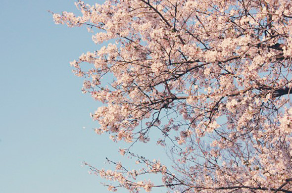 桜 開花 から 満開 まで 何 日