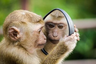 鏡で向き合っているサル