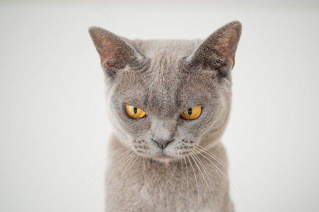 怒っているネコ