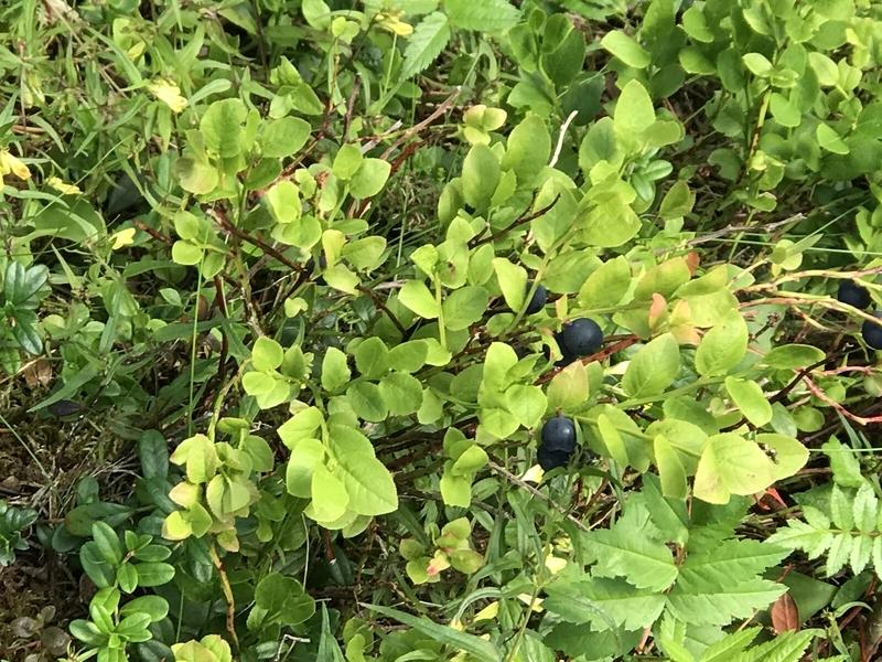 コリ国立公園ブルーベリー