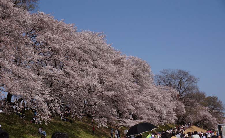 背割堤桜のイメージ01