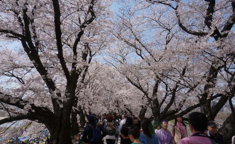 背割堤桜のイメージ02