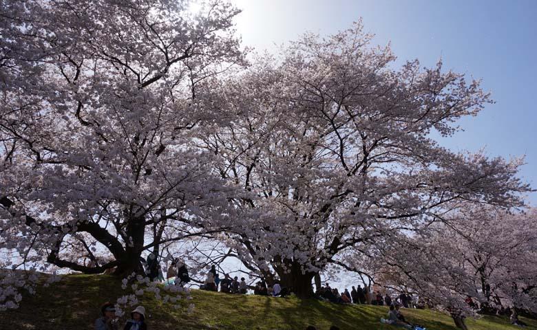 背割堤桜のイメージ03