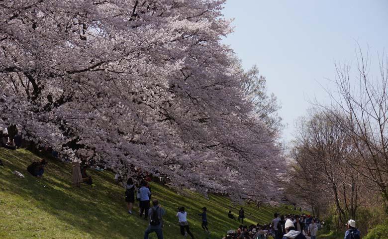 背割堤桜のイメージ04