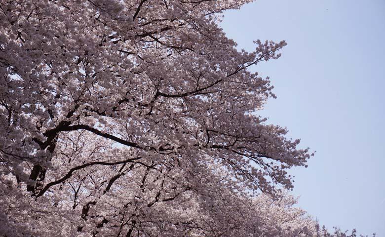 背割堤桜のイメージ05