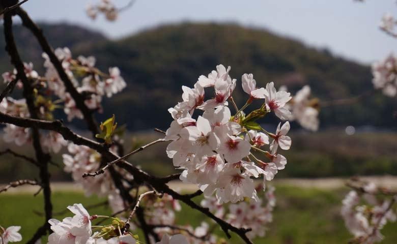 背割堤桜のイメージ06