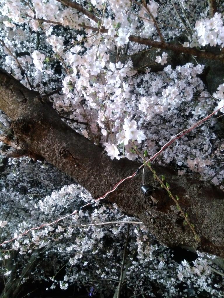 熊谷桜堤 3月27日の開花状況2