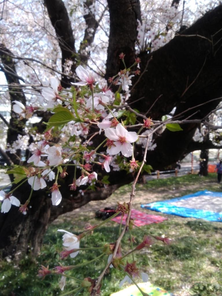 2018年4月1日の熊谷桜堤