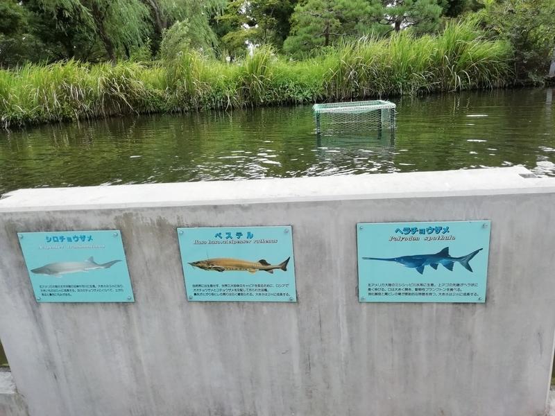 さいたま水族館のチョウザメたち