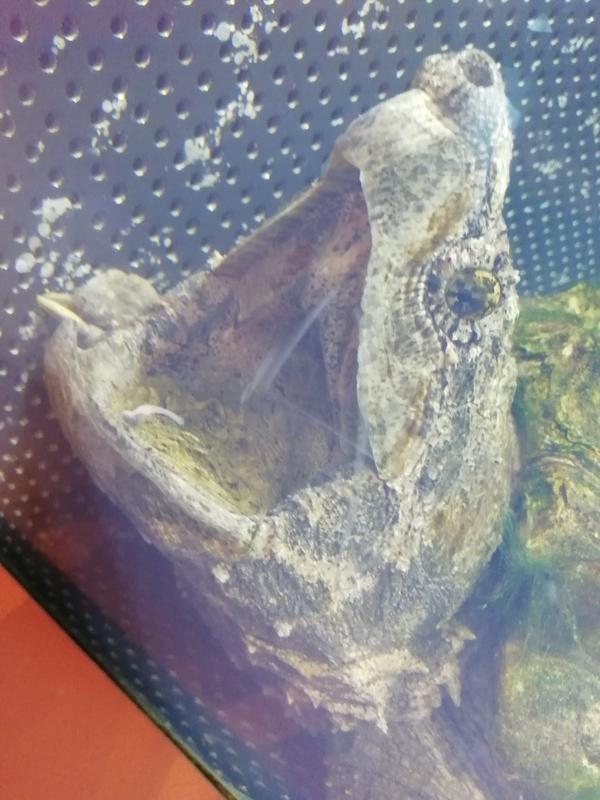さいたま水族館のワニガメ
