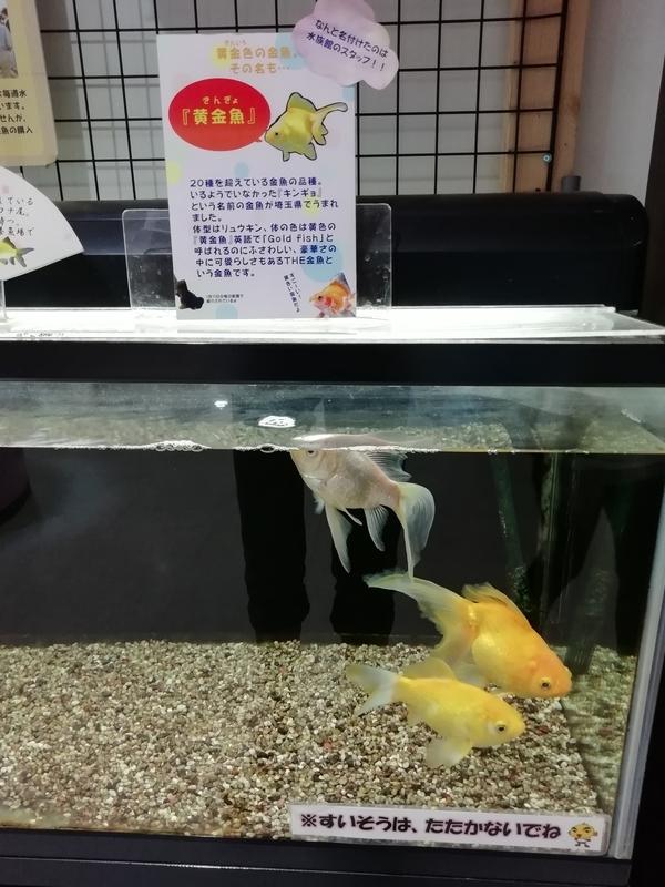 さいたま水族館の金魚展